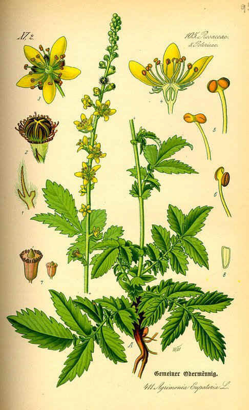 http://herboriste.pagesperso-orange.fr/listeplante/aigremoine.jpg