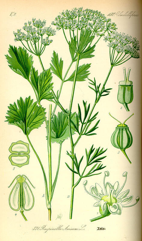 http://herboriste.pagesperso-orange.fr/listeplante/anis.jpg