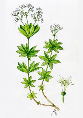 http://herboriste.pagesperso-orange.fr/listeplante/asperule.jpg