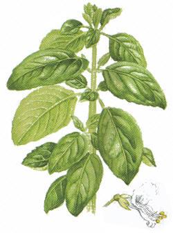 http://herboriste.pagesperso-orange.fr/listeplante/basilic.jpg