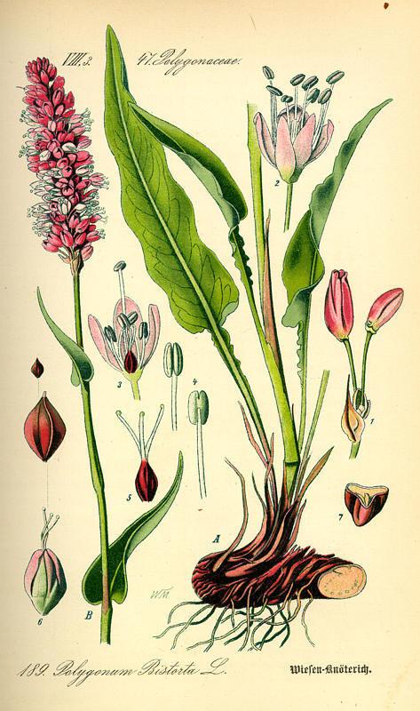 http://herboriste.pagesperso-orange.fr/listeplante/bistorte.jpg