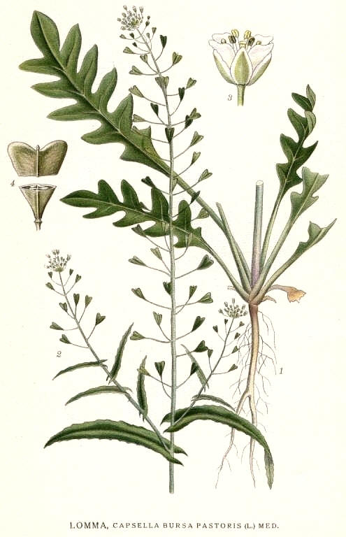 http://herboriste.pagesperso-orange.fr/listeplante/bourseapasteur.jpg