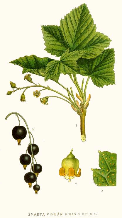 http://herboriste.pagesperso-orange.fr/listeplante/cassis.jpg