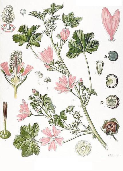 http://herboriste.pagesperso-orange.fr/listeplante/mauve.jpg