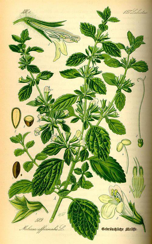 http://herboriste.pagesperso-orange.fr/listeplante/melisse.jpg