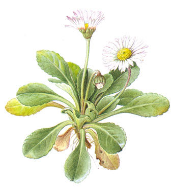 http://herboriste.pagesperso-orange.fr/listeplante/paquerette.jpg